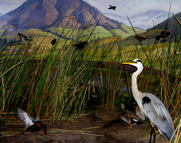Pictures of Wetland Diorama http://bleacox.wordpress.com/2011/01/20/great-blue-heron-diorama/