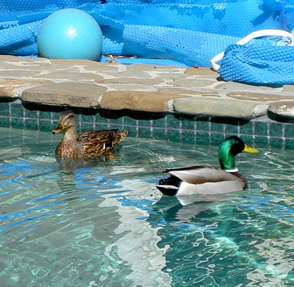 ducks in the swimming pool birdtracks