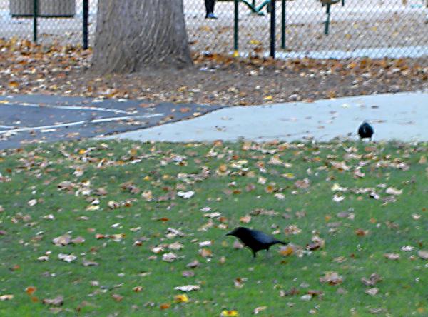 crows in palo alto